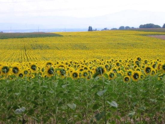 영화 '해바라기' Love Theme from Sunflower, OST